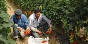 Bracciante indiano sfruttato in azienda agricola a Latina: aperto il processo